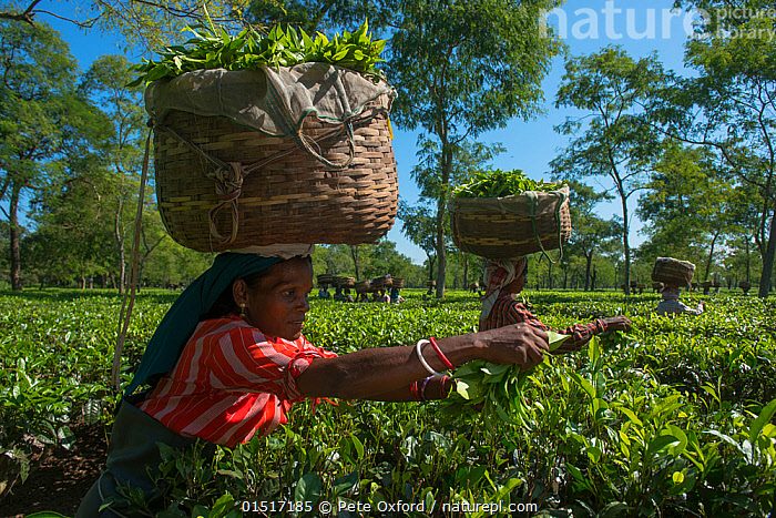 Woman with basket on her head picking tea (Camellia sinensis), Assam, North East India, October 2014.  ,  high15,,Plant,Vascular plant,Flowering plant,Asterid,Camellia,Plantae,Plant,Tracheophyta,Vascular plant,Magnoliopsida,Flowering plant,Angiosperm,Seed plant,Spermatophyte,Spermatophytina,Angiospermae,Ericales,Asterid,Dicot,Dicotyledon,Asteranae,Theaceae,Camellia,Tea plant,Picking,Pick,Concentrate,Concentrated,Concentrating,Concentration,Carries,Carry,Carrying On Head,Head Carries,Head Carry,Working,People,Asian Ethnicity,Asian,Asians,Indian Ethnicity,Indian,Woman,Agricultural Occupation,Farm Worker,Farmer,Tea Picker,Tea Pickers,Balance,Skill,Teamwork,Group,Group Of People,Small Group Of People,Few,Asia,Indian Subcontinent,India,Drink,Hot Drink,Tea,Teas,Container,Containers,Basket,Baskets,Clothing,Dress,Dresses,Sari,Saree,Sarees,Saris,Farms,Plantations,Tea Plantations,Light,Lights,Sunlight,Outdoors,Open Air,Outside,Day,Assam,Camellia sinensis,,,Skill, Efficiency,  ,  Pete Oxford