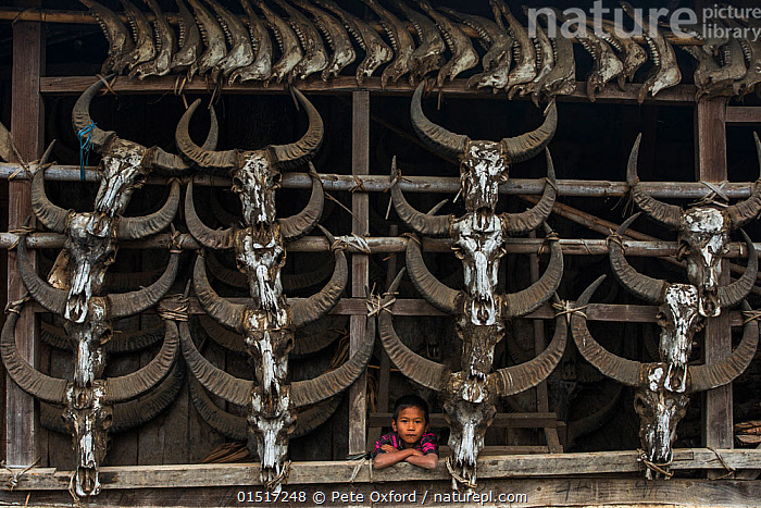 Konyak Naga boy peering out of house decorated with buffalo skulls, Konyak Naga headhunting Tribe.Mon district, Nagaland,  North East India, October 2014.  ,  high15,,,People,Asian Ethnicity,Asian,Asians,Indian Ethnicity,Indian,Traditional,Dead,1 Person,Single,Single Person,Asia,Indian Subcontinent,India,Animal,Animal Skulls,Skull,Skulls,Decoration,Settlement,Village,Villages,Building,Building Exterior,Residential Structure,House,Houses,Outdoors,Open Air,Outside,Day,Culture,Indigenous Culture,Death,Tribes,Direct Gaze,Nagaland,Unfriendly,Leaning on elbow,Mon District,Konyak Naga,  ,  Pete Oxford