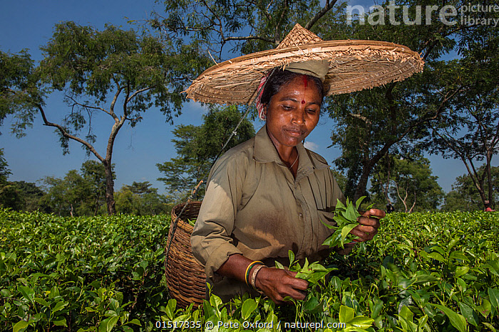 Tea picker, collecting Tea leaves (Camelia sinensis) wearing large straw hat, Assam, North East India, October 2014.  ,  high15,,Plant,Vascular plant,Flowering plant,Asterid,Camellia,Plantae,Plant,Tracheophyta,Vascular plant,Magnoliopsida,Flowering plant,Angiosperm,Seed plant,Spermatophyte,Spermatophytina,Angiospermae,Ericales,Asterid,Dicot,Dicotyledon,Asteranae,Theaceae,Camellia,Tea plant,Picking,Pick,Standing,Carries,Carry,Carrying On Head,Head Carries,Head Carry,Working,People,Asian Ethnicity,Asian,Asians,Indian Ethnicity,Indian,Woman,Agricultural Occupation,Farm Worker,Farmer,Tea Picker,Tea Pickers,Choice,Alternative,Choices,Decisions,1 Person,Single,Single Person,Asia,Indian Subcontinent,India,Waist Up,Half Length,Container,Containers,Basket,Baskets,Clothing,Hat,Hats,Straw Hat,Straw Hats,Bindi,Bindis,Farms,Plantations,Tea Plantations,Cultivated Land,Fields,Outdoors,Open Air,Outside,Day,Culture,Asian Culture,Indian Culture,Farmland,Assam,Local Industry,Camellia sinensis,  ,  Pete Oxford