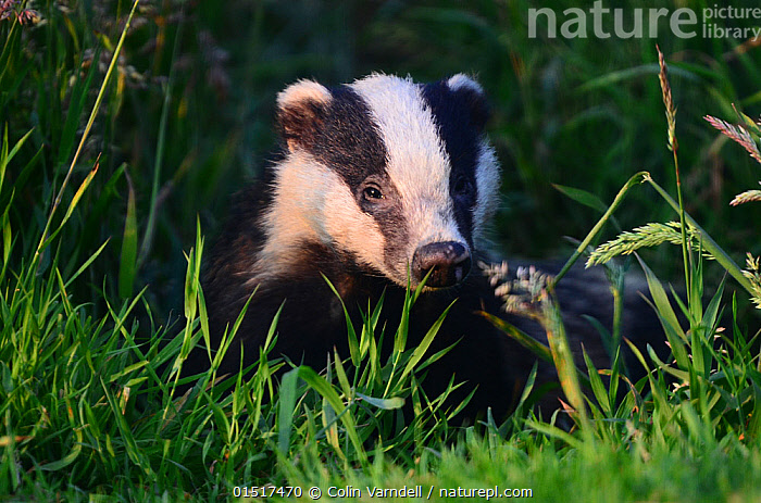 Badger (Meles meles) with face lit up at sunset. Dorset, UK July.  ,  high15,,Animal,Vertebrate,Mammal,Carnivore,Mustelid,Badger,Animalia,Animal,Wildlife,Vertebrate,Mammalia,Mammal,Carnivora,Carnivore,Mustelidae,Mustelid,Meles,Badger,Meles meles,Eurasian Badger,Sadness,Lost,Nobody,Pattern,Patterned,Patterns,Stripes,Europe,Western Europe,UK,Great Britain,England,Dorset,Portrait,Plant,Grass Family,Grass,Grasses,Outdoors,Open Air,Outside,Twilight,Evening,Day,Nature,Natural,Natural World,Wild,Animal marking,Disorientated,  ,  Colin Varndell