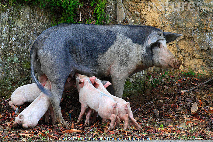 Corsican pig (Sus scrofa domestica) sow, suckling the piglets, Parc Naturel Regional de Corse / Natural Regional Park of Corsica, Corsica Island, France. September., high15,,,Patience,Hunger,Appetite,Hungry,Colour,Pink,Group,Medium Group,Nobody,Europe,Western Europe,France,Corsica,Side View,Animal,Young Animal,Juvenile,Babies,Baby Mammal,Piglet,Piglets,Female animal,Sow,Sows,Outdoors,Open Air,Outside,Day,Livestock,Animal Behaviour,Feeding,Parental behaviour,Suckling,Feeding young,Domestic animal,Behaviour,Domestic Pig,Parental,Sus scrofa domestica,Five animals,Mammal,Natural Regional Park of Corsica,, Pascal Pittorino