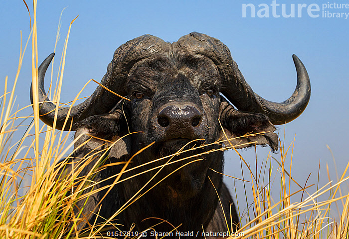 African buffalo (Syncerus caffer) low angle portrait, Chobe National Park, Botswana.  ,  catalogue8,,Animal,Vertebrate,Mammal,Bovid,Buffalo,African buffalo,Animalia,Animal,Wildlife,Vertebrate,Mammalia,Mammal,Artiodactyla,Even-toed ungulates,Bovidae,Bovid,ruminantia,Ruminant,Syncerus,Buffalo,Syncerus caffer,African buffalo,Suspicion,Colour,Black,Nobody,Africa,Southern Africa,Botswana,Low Angle View,Sky,Clear Sky,Outdoors,Open Air,Outside,Day,Nature,Natural,Natural World,Wild,Feeding,Horn,Direct Gaze,Blue sky,Chobe National Park,  ,  Sharon Heald