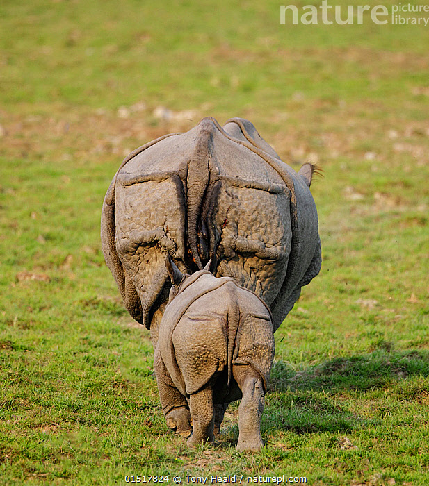 Indian rhinoceros (Rhinoceros unicornis) mother and calf, rear view. Kaziranga National Park, Assam, India. Vulnerable species  ,  high15,,Animal,Vertebrate,Mammal,Odd toed ungulate,Rhinoceros,Indian rhinoceros,Animalia,Animal,Wildlife,Vertebrate,Mammalia,Mammal,Perissodactyla,Odd toed ungulate,Rhinocerotidae,Rhinoceros,Rhino,Rhinoceros unicornis,Indian rhinoceros,Greater One-horned Rhino,Great Indian Rhinoceros,Moving After,Following,Follow,Follows,Walking,Obedience,Two,Nobody,Asia,Indian Subcontinent,India,Rear View,Young Animal,Juvenile,Babies,Baby Mammal,Calf,Plant,Grass Family,Grass,Grasses,Rear End,Outdoors,Open Air,Outside,Day,Nature,Natural,Natural World,Endangered Species,Threatened,Reserve,Family,Mother baby,Mother-baby,mother,Protected area,National Park,Two animals,Assam,Parent baby,Kaziranga National Park,Moving,Leaving,Departure,Vulnerable species,Animal Rear,Endangered species,threatened,Vulnerable  ,  Tony Heald