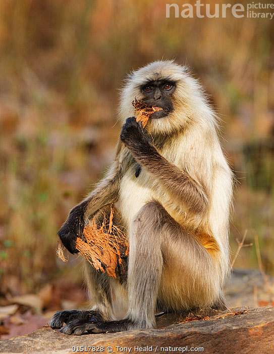 Hanuman langur (Semnopithecus entellus) eating coconut husk, Bandhavgarh National Park, India. March., high15,,Animal,Vertebrate,Mammal,Monkey,Grey Langur,Bengal Hanuman Langur,Animalia,Animal,Wildlife,Vertebrate,Mammalia,Mammal,Primate,Primates,Cercopithecidae,Monkey,Old World Monkeys,Semnopithecus,Grey Langur,Semnopithecus entellus,Bengal Hanuman Langur,Northern Plains Gray Langur,Sitting,Colour,White,Nobody,Asia,Indian Subcontinent,India,Full Length,Full Lengths,Whole,Plant,Husk,Husks,Hair,Fur,Food,Outdoors,Open Air,Outside,Day,Feeding,Direct Gaze,Assam,Madhya Pradesh,Kaziranga National Park,White colour,Bandhavgarh National Park,Animal Hair,Black Faced,, Tony Heald