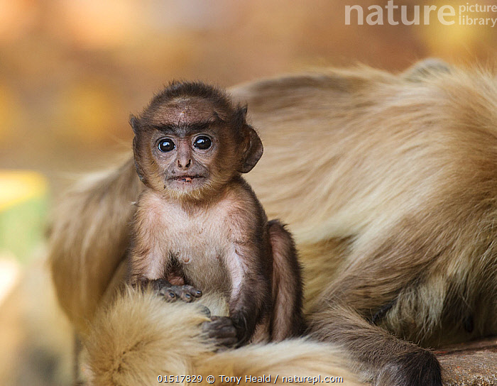 Hanuman langur  (Semnopithecus entellus) baby next to mother, Bandhavgarh National Park, India.  ,  catalogue8,,Animal,Vertebrate,Mammal,Monkey,Grey Langur,Bengal Hanuman Langur,Animalia,Animal,Wildlife,Vertebrate,Mammalia,Mammal,Primate,Primates,Cercopithecidae,Monkey,Old World Monkeys,Semnopithecus,Grey Langur,Semnopithecus entellus,Bengal Hanuman Langur,Northern Plains Gray Langur,Sitting,Caution,Cautious,Cute,Adorable,Trust,Trustful,Trusting,Wisdom,Wise,Two,Nobody,Serious,Asia,Indian Subcontinent,India,Young Animal,Juvenile,Babies,Hair,Fur,Outdoors,Open Air,Outside,Day,Nature,Natural,Natural World,Wild,Reserve,Family,Mother baby,Mother-baby,mother,Protected area,National Park,Two animals,Direct Gaze,Assam,Madhya Pradesh,Parent baby,Kaziranga National Park,Bandhavgarh National Park,Animal Hair,  ,  Tony Heald