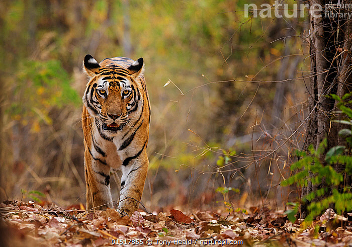 Bengal tiger (Panthera tigris tigris) walking, Bandhavgarh National Park, India.  ,  high15,,Animal,Vertebrate,Mammal,Carnivore,Cat,Big cat,Tiger,Bengal tiger,Vicious,Animalia,Animal,Wildlife,Vertebrate,Mammalia,Mammal,Carnivora,Carnivore,Felidae,Cat,Panthera,Big cat,Panthera tigris,Tiger,Felis tigris,Tigris striatus,Tigris regalis,Focus,Rebellion,Disobedience,Disobedient,Rebel,Rebellions,Rebels,Revolutionary,Nobody,Asia,Indian Subcontinent,India,Front View,View From Front,Plant,Leaf,Foliage,Outdoors,Open Air,Outside,Day,Nature,Natural,Natural World,Wild,Ferocious,Reserve,Bengal tiger,Indian tiger,Protected area,National Park,Madhya Pradesh,Vicious,Fallen Leaves,Focused,Bandhavgarh National Park,Pacing,Endangered species,threatened,Endangered  ,  Tony Heald