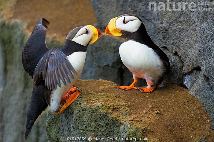 Horned puffins (Fratercula corniculata), one landing with outspread wings, to join its mate on cliff ledge, St. Paul Island, Pribilofs, Alaska, USA, July., high15,,Animal,Vertebrate,Bird,Birds,Auk,Puffin,Horned puffin,American,Animalia,Animal,Wildlife,Vertebrate,Aves,Bird,Birds,Charadriiformes,Alcidae,Auk,Seabird,Fratercula,Puffin,Fratercula corniculata,Horned puffin,Landing,Arrival,Balance,Love,Two,Nobody,Pattern,Patterned,Patterns,North America,USA,Western USA,Alaska,Close Up,Side View,Wing,Wings,Ledge,Cliff,Outdoors,Open Air,Outside,Day,Male female pair,Wings spread,Wingspan,Two animals,Animal marking,Welcoming,American,St Paul Island,United States of America,Contact,Seabird,Seabirds,Marine bird,Marine birds,Pelagic bird,Pelagic birds, Marie  Read
