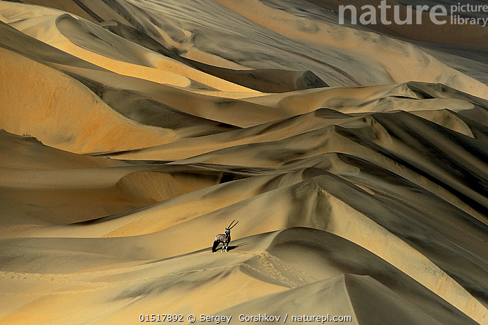 Gemsbok (Oryx gazella) in sand dunes, Namibia. Finalist in the Mammals Category of the Wildlife Photographer of the Year Awards (WPOY) Competition 2015.  ,  catalogue8,,Animal,Vertebrate,Mammal,Bovid,Oryx,Gemsbok,Animalia,Animal,Wildlife,Vertebrate,Mammalia,Mammal,Artiodactyla,Even-toed ungulates,Bovidae,Bovid,ruminantia,Ruminant,Oryx,Oryx gazella,Gemsbok,Standing,Alone,Scale,Proportion,Solitude,Solitary,Lost,Distant,Distance,Nobody,Dry,Arid,Africa,Southern Africa,Namibia,South-West Africa,Sand Dune,Dune,Dunes,Sandbank,Sands,Landscape,Landscapes,Outdoors,Open Air,Outside,Day,Nature,Natural,Natural World,Wild,Competition winner,Wilderness,Namibian,Insignificant,Expansive,Disorientated,  ,  Sergey  Gorshkov