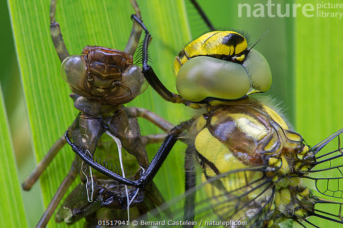 Southern hawker (Aeshna cyanea) with its larval exoseleton, Brasschaat, Belgium, July.  ,  Animal,Arthropod,Insect,Pterygota,Hawker dragonfly,Southern hawker,Animalia,Animal,Wildlife,Hexapoda,Arthropod,Invertebrate,Hexapod,Arthropoda,Insecta,Insect,Odonata,Pterygota,Aeshnidae,Hawker dragonfly,Hawker,Darner dragonfly,Darner,Dragonfly,Anisoptera,Epiprocta,Aeshna,Mosaic darner,Aeshna cyanea,Southern hawker,Blue hawker,Blue darner,Libellula cyanea,Aeschna atshischgho,Libellula varia,Europe,Western Europe,Belgium,Moulting,Moults,Moult,Molting,Exoskeleton,Endangered species  ,  Bernard Castelein
