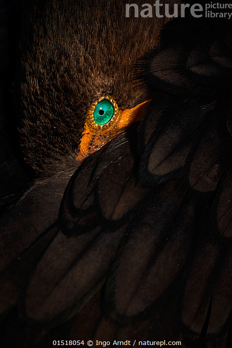 Double-crested cormorant (Phalacrocorax auritus) adult resting, close up portrait, Everglades National Park, Florida, USA. January. Finalist in the Birds Category of the GDT Awards 2015.  ,  catalogue8,,Animal,Vertebrate,Bird,Birds,Phalacrocoraciformes,Cormorant,Double crested cormorant,American,Animalia,Animal,Wildlife,Vertebrate,Aves,Bird,Birds,Suliformes,Phalacrocoraciformes,Phalacrocoracidae,Cormorant,Phalacrocorax,Phalacrocorax auritus,Double crested cormorant,White crested cormorant,Hiding,Resting,Rest,Alertness,Alert,Mystery,Mysterious,Colour,Blue,Turquoise,Aqua,Aqua Blue,Brown,Nobody,Vibrant Colour,North America,USA,Southern USA,Southeast US,Florida,Full Frame,Close Up,Portrait,Animal Eye,Animal Eyes,Eye,Eyes,Feather,Feathers,Outdoors,Open Air,Outside,Eyesight,Sight,Reserve,Competition winner,Protected area,National Park,Everglades National Park,Using Senses,Animal portrait,American,Blue Colour,Brown Colour,United States of America,Seabird,Seabirds,Marine bird,Marine birds,Pelagic bird,Pelagic birds  ,  Ingo Arndt
