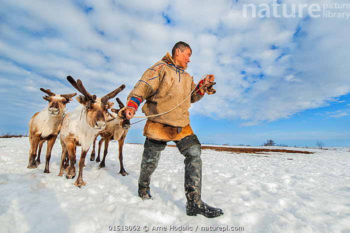 Nenet herdsman with Reindeer (Rangifer tarandus) during summer migration, Yamal Peninsula, Russia. May.  ,  high15,,Animal,Vertebrate,Mammal,Deer,Caribou,Animalia,Animal,Wildlife,Vertebrate,Mammalia,Mammal,Artiodactyla,Even-toed ungulates,Cervidae,Deer,True deer,ruminantia,Ruminant,Rangifer,Rangifer tarandus,Caribou,Reindeer,Migrating,Migration,Herding,Herded,Roundup,Roundups,Shepherding,Leading,Moving After,Following,Follow,Follows,Walking,People,Man,Only Men,One Man,Guidance,Guiding,Journey,On The Move,Group Of Animals,Herd,Herds,Few,Three,Group,1 Person,Single,Single Person,Tied Up,Bound,Tether,Tethers,Tied,Russia,Siberia,Full Length,Full Lengths,Whole,Front View,View From Front,Rope,Cords,Sky,Cloud,Snow,Outdoors,Open Air,Outside,Day,Culture,Indigenous Culture,Russian Culture,Animal Behaviour,Domestic animal,Behaviour,Tribes,Local people,Three Animals,Moving,Herder,Domestic,Siberian culture,Reindeer herder,Herdsman,Yamal Peninsula,  ,  Arne Hodalic