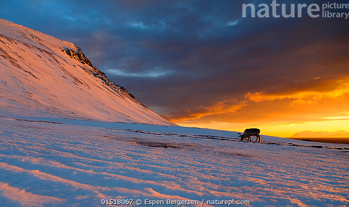 Svalbard reindeer (Rangifer tarandus platyrhynchus) in distance at sunset, Svalbard, Norway. April.  ,  high15,,Animal,Vertebrate,Mammal,Deer,Caribou,Animalia,Animal,Wildlife,Vertebrate,Mammalia,Mammal,Artiodactyla,Even-toed ungulates,Cervidae,Deer,True deer,ruminantia,Ruminant,Rangifer,Rangifer tarandus,Caribou,Reindeer,Mood,Ominous,Foreboding,Colour,Yellow,Nobody,Size,Small,Little,Tiny,Temperature,Cold,Europe,Northern Europe,North Europe,Nordic Countries,Scandinavia,Norway,Svalbard,Hill,Hills,Hillside,Hillsides,Sky,Cloud,Moody Sky,Dramatic Sky,Snow,Weather,Overcast,Sunset,Setting Sun,Sunsets,Landscape,Landscapes,Outdoors,Open Air,Outside,Twilight,Evening,Day,Feeding,Grazing,Dusk,Insignificant,Yellow Colour,,,Svalbard,Arctic,Polar,Norway  ,  Espen Bergersen