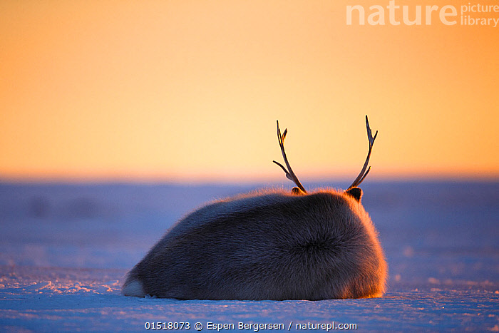 Svalbard reindeer (Rangifer tarandus platyrhynchus) rear view lying down, resting at sunset, Svalbard, Norway. April.  ,  high15,,Animal,Vertebrate,Mammal,Deer,Caribou,Animalia,Animal,Wildlife,Vertebrate,Mammalia,Mammal,Artiodactyla,Even-toed ungulates,Cervidae,Deer,True deer,ruminantia,Ruminant,Rangifer,Rangifer tarandus,Caribou,Reindeer,Resting,Rest,Rejection,Sadness,Loneliness,Alone,Lonely,Solitude,Solitary,Colour,Yellow,Nobody,Tiredness,Temperature,Cold,Sulking,Miserable,Sulk,Sulks,Sullen,Surliness,Surly,Europe,Northern Europe,North Europe,Nordic Countries,Scandinavia,Norway,Svalbard,Copy Space,Rear View,Antler,Antlers,Sky,Snow,Sunset,Setting Sun,Sunsets,Outdoors,Open Air,Outside,Day,Cryptic,Dusk,Negative space,Bad mood,Dejected,Despondent,Downcast,Yellow Colour,,,Svalbard,Arctic,Polar,Norway  ,  Espen Bergersen