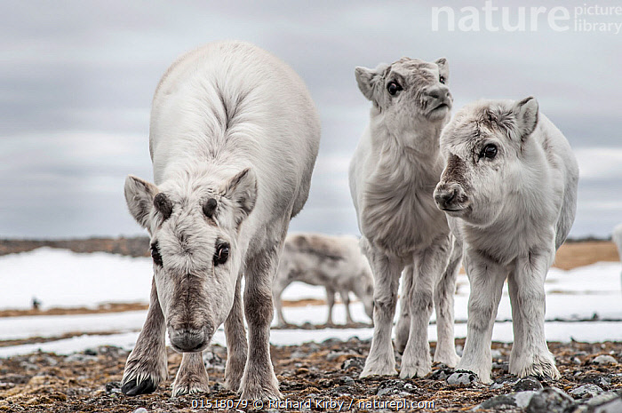 Svalbard reindeer (Rangifer tarandus platyrhynchus) mother and calves, Svalbard, Norway, February.  ,  high15,,Animal,Vertebrate,Mammal,Deer,Caribou,Animalia,Animal,Wildlife,Vertebrate,Mammalia,Mammal,Artiodactyla,Even-toed ungulates,Cervidae,Deer,True deer,ruminantia,Ruminant,Rangifer,Rangifer tarandus,Caribou,Reindeer,Standing,Caution,Cautious,Suspicion,Colour,White,Few,Four,Three,Group,Nobody,Temperature,Cold,Europe,Northern Europe,North Europe,Nordic Countries,Scandinavia,Norway,Svalbard,Full Length,Full Lengths,Whole,Front View,View From Front,Young Animal,Juvenile,Babies,Baby Mammal,Calf,Female animal,Hair,Fur,Snow,Outdoors,Open Air,Outside,Winter,Day,Family,Mother baby,Mother-baby,mother,Direct Gaze,Parent baby,Four animals,White colour,Bending,Bending forwards,Animal Hair,,,Svalbard,Arctic,Polar,Norway  ,  Richard Kirby