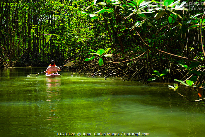 Tourist paddling among mangroves in canoe, Puerto Jimenez, Golfo Dulce, Osa Peninsula, Costa Rica.  ,  high15,,,Paddling,Leisure,People,Recreation Role,Tourist,Tourists,Mood,Calm,Silence,Quiet,Colour,Green,1 Person,Single,Single Person,Latin America,Central America,Costa Rica,Rear View,Plant,Leaf,Foliage,Tree,Mangrove Tree,Mangrove,Mangrove Trees,Mangroves,Boat,Boats,Canoe,Canoes,Outdoors,Open Air,Outside,Day,Exploration,Travel,Vacations,Tourism,Water,Open boat,Biodiversity hotspot,Green colour,  ,  Juan  Carlos Munoz