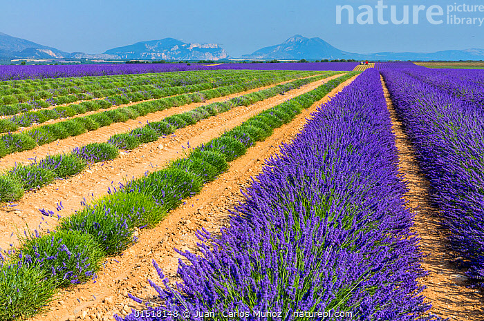 Partially harvested Lavender (Lavendula angustifolia) fields, Valensole Plateau, Alpes Haute Provence, France, July 2015., high15,,Plant,Vascular plant,Flowering plant,Asterid,Lavender,Plantae,Plant,Tracheophyta,Vascular plant,Magnoliopsida,Flowering plant,Angiosperm,Seed plant,Spermatophyte,Spermatophytina,Angiospermae,Lamiales,Asterid,Dicot,Dicotyledon,Asteranae,Lamiaceae,Labiatae,Lavandula,Lavender,Contrasts,Row,Colour,Green,Purple,Distant,Distance,Nobody,Flat,Pattern,Patterned,Patterns,Stripes,Scented,Europe,Western Europe,France,Provence Alpes Cote D'Azur,Provence,Crops,Produce,Cultivated,Cultivation,Mint Order,Mint Family,Flower,Flowers,Cultivated Land,Fields,Landscape,Landscapes,Outdoors,Open Air,Outside,Summer,Day,Agriculture,Countryside,Farmland,Green colour,Expansive,Lined up,Alpes-de-Haute-Provence,Valensole Plateau,, Juan  Carlos Munoz