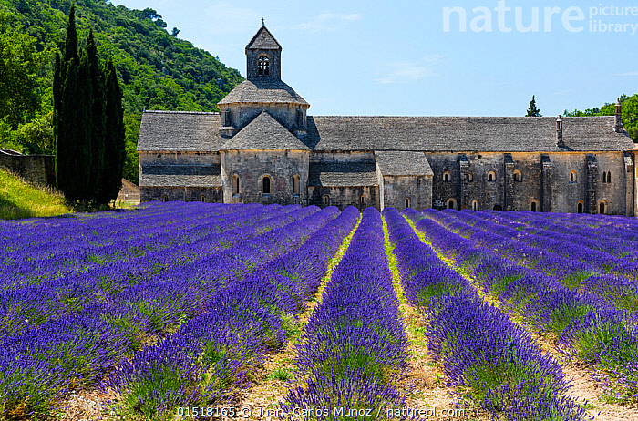 Lavender (Lavendula angustifolia) fields in front of Senanque Abbey, Gordes Village, Provence, France, July 2015., high15,,Plant,Vascular plant,Flowering plant,Asterid,Lavender,Plantae,Plant,Tracheophyta,Vascular plant,Magnoliopsida,Flowering plant,Angiosperm,Seed plant,Spermatophyte,Spermatophytina,Angiospermae,Lamiales,Asterid,Dicot,Dicotyledon,Asteranae,Lamiaceae,Labiatae,Lavandula,Lavender,Row,Old,Colour,Blue,Purple,Nobody,Vibrant Colour,Pattern,Patterned,Patterns,Stripes,Europe,Western Europe,France,Provence Alpes Cote D'Azur,Gordes,Provence,Diminishing Perspective,Crops,Produce,Cultivated,Cultivation,Mint Order,Mint Family,Flower,Flowers,Building,Building Exterior,Historic Building,Historic Buildings,Historical Building,Historical Buildings,Wall,Facade,Facades,Front,Church,Churches,Abbey,Abbeys,Cultivated Land,Fields,Landscape,Landscapes,Outdoors,Open Air,Outside,Summer,Day,Architecture,Religion,Christianity,Countryside,Farmland,Lined up,Blue Colour,Picturesque,Senanque Abbey (Gordes,Provence),, Juan  Carlos Munoz