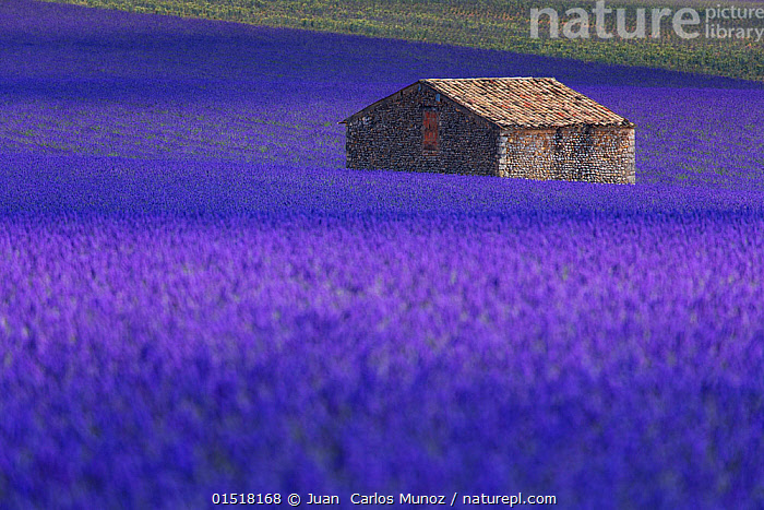 Hut in Lavender (Lavandula angustifolia) fields, Valensole Plateau, Alpes Haute Provence, France, June 2015.  ,  high15,,Plant,Vascular plant,Flowering plant,Asterid,Lavender,Plantae,Plant,Tracheophyta,Vascular plant,Magnoliopsida,Flowering plant,Angiosperm,Seed plant,Spermatophyte,Spermatophytina,Angiospermae,Lamiales,Asterid,Dicot,Dicotyledon,Asteranae,Lamiaceae,Labiatae,Lavandula,Lavender,Independence,Independent,Mood,Rustic,Rusticity,Alone,Solitude,Solitary,Colour,Blue,Purple,Nobody,Vibrant Colour,Scented,Europe,Western Europe,France,Provence Alpes Cote D'Azur,Provence,Crops,Produce,Cultivated,Cultivation,Mint Order,Mint Family,Flower,Flowers,Building,Building Exterior,Hut,Huts,Cultivated Land,Fields,Rock,Stone,Stones,Landscape,Landscapes,Outdoors,Open Air,Outside,Summer,Day,Agriculture,Farmland,One Object,Blue Colour,Alpes-de-Haute-Provence,Valensole Plateau,  ,  Juan  Carlos Munoz