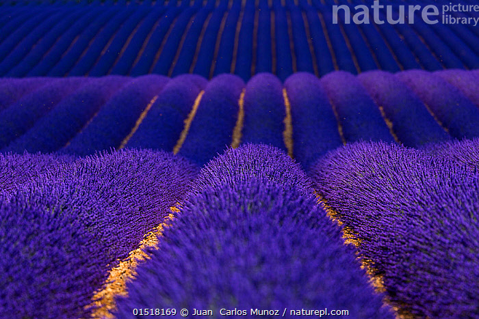 Lavender (Lavandula angustifolia) fields, Valensole Plateau, Alpes Haute Provence, France, June., catalogue8,,Plant,Vascular plant,Flowering plant,Asterid,Lavender,Plantae,Plant,Tracheophyta,Vascular plant,Magnoliopsida,Flowering plant,Angiosperm,Seed plant,Spermatophyte,Spermatophytina,Angiospermae,Lamiales,Asterid,Dicot,Dicotyledon,Asteranae,Lamiaceae,Labiatae,Lavandula,Lavender,Repetition,Colour,Blue,Purple,Nobody,Vibrant Colour,Pattern,Patterned,Patterns,Stripes,Scented,Europe,Western Europe,France,Provence Alpes Cote D'Azur,Provence,Diminishing Perspective,Full Frame,Close Up,Crops,Produce,Cultivated,Cultivation,Mint Order,Mint Family,Flower,Flowers,Cultivated Land,Fields,Landscape,Landscapes,Rolling Landscape,Undulating Landscape,Outdoors,Open Air,Outside,Summer,Day,Backgrounds,Background,Farmland,Blue Colour,Valensole Plateau,, Juan  Carlos Munoz