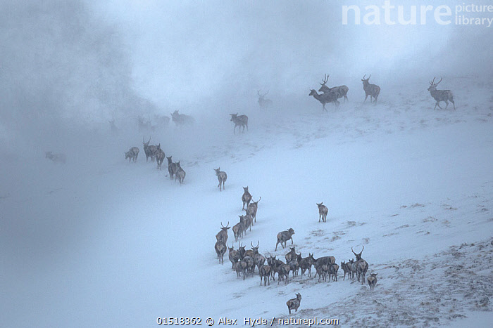 Red Deer herd (Cervus elaphus) moving over mountain ridge in heavy snow. Cairngorms National Park, Scotland. January. Highly Commended in the Habitat category of the British Wildlife Photography Awards (BWPA) Competition 2015.  ,  catalogue8,,Animal,Vertebrate,Mammal,Deer,Red Deer,Animalia,Animal,Wildlife,Vertebrate,Mammalia,Mammal,Artiodactyla,Even-toed ungulates,Cervidae,Deer,True deer,ruminantia,Ruminant,Cervus,Cervus elaphus,Red Deer,Wapiti,Migrating,Migration,Mystery,Mysterious,On The Move,Group Of Animals,Herd,Herds,Group,Nobody,Ridge,Europe,Western Europe,UK,Great Britain,Scotland,High Angle View,Hill,Hills,Hillside,Hillsides,Mountain,Snow,Weather,Mist,Snowing,Snowfall,Blizzard,Blizzards,Snow Storm,Snow Storms,Storm,Outdoors,Open Air,Outside,Winter,Day,Nature,Natural,Natural World,Wild,Bad Weather,Animal Behaviour,Behaviour,Competition winner,Severe weather,Elevated view,Safety in Numbers,Low visibility,Cairngorms National Park,Moving  ,  Alex  Hyde