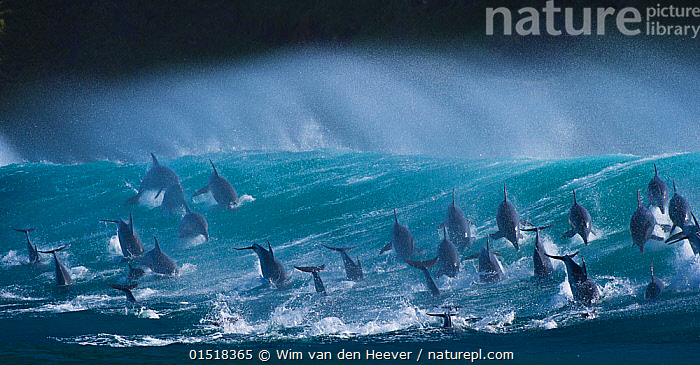 Large pod of Bottlenose dolphins (Tursiops truncatus) porpoising over waves during annual  sardine run, Port St Johns, South Africa. Runner up in the Animals in their Environment Category of the Wildlife Photographer of the Year Awards (WPOY) Competition 2015.  ,  catalogue8,,Animal,Vertebrate,Mammal,Ceteacean,Oceanic dolphin,Bottle nose dolphins,Bottle-nosed Dolphin,Animalia,Animal,Wildlife,Vertebrate,Mammalia,Mammal,Cetacea,Ceteacean,Delphinidae,Oceanic dolphin,Dolphin,Odontoceti,Tursiops,Bottle nose dolphins,Tursiops truncatus,Bottle-nosed Dolphin,Bottlenosed Dolphin,Bottlenose Dolphin,Common Bottlenose Dolphin,Breaching,Agility,Agile,Spectacular,Energetic,Escape,Escapes,Escaping,Mood,Ominous,Foreboding,Motion,Active,Movement,On The Move,Togetherness,Close,Together,Unity,Swell,Colour,Blue,Turquoise,Aqua,Aqua Blue,Upside Down,Inverted,Upturned,Group Of Animals,Group,Large Group,Nobody,Dark,Darkness,Africa,Southern Africa,South Africa,Panoramic,Sky,Cloud,Storm Cloud,Ocean,Indian Ocean,Wave,Weather,Outdoors,Open Air,Outside,Day,Marine,Water,Bad Weather,Animal Behaviour,Behaviour,Saltwater,Sea,Competition winner,Breaches,Porpoising,Leaping,Leaps,Leap,Severe weather,Multitude,Surfacing,Pod,View to sea,South African,Moving,Sealife,Surface,Blue Colour,Marine  ,  Wim van den Heever