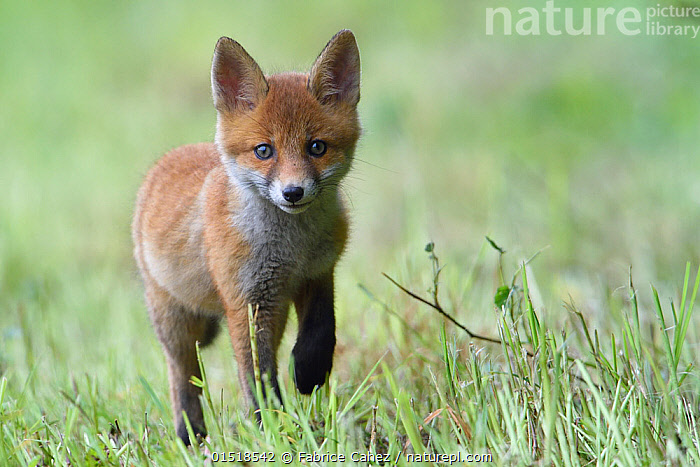 Red fox (Vulpes vulpes) cub walking in grass, ,Vosges, France, May., high15,,Animal,Vertebrate,Mammal,Carnivore,Canid,True fox,Red fox,Animalia,Animal,Wildlife,Vertebrate,Mammalia,Mammal,Carnivora,Carnivore,Canidae,Canid,Vulpes,True fox,Vulpini,Caninae,Vulpes vulpes,Red fox,Walking,Alertness,Alert,Caution,Cautious,Trust,Trustful,Trusting,Nobody,Europe,Western Europe,France,Lorraine,Front View,View From Front,Portrait,Young Animal,Juvenile,Babies,Baby Mammal,Cub,Plant,Grass Family,Grass,Grasses,Ear,Animal Ears,Ears,Outdoors,Open Air,Outside,Day,Vosges,Direct Gaze,Ears Pricked,, Fabrice  Cahez