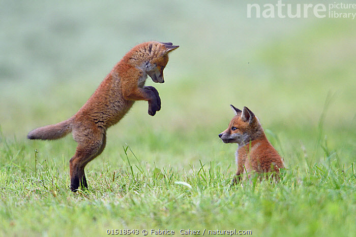 Red fox (Vulpes vulpes) cubs playing, Vosges, France, May., catalogue8,,Animal,Vertebrate,Mammal,Carnivore,Canid,True fox,Red fox,Animalia,Animal,Wildlife,Vertebrate,Mammalia,Mammal,Carnivora,Carnivore,Canidae,Canid,Vulpes,True fox,Vulpini,Caninae,Vulpes vulpes,Red fox,Showing Off,Attention Seeking,Seeking Attention,Standing,Spectator,Spectators,Encouragement,Encourage,Encourages,Encouraging,Colour,Brown,Face To Face,Face Each Other,Facing Each Other,Two,Nobody,Europe,Western Europe,France,Lorraine,Side View,Young Animal,Juvenile,Babies,Baby Mammal,Cub,Plant,Grass Family,Grass,Grasses,Outdoors,Open Air,Outside,Day,Nature,Natural,Natural World,Wild,Animal Behaviour,Playing,Behaviour,Play,Playful,Vosges,Standing on hind legs,Two animals,Unimpressed,Brown Colour,, Fabrice  Cahez