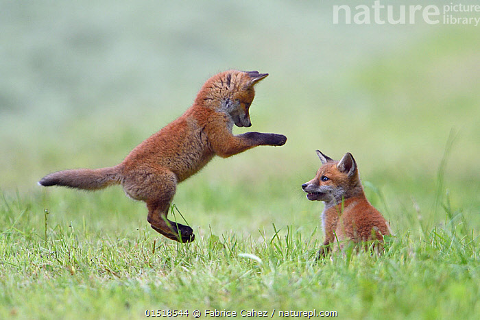Red fox (Vulpes vulpes) cubs playing, Vosges, France, May.  ,  high15,,Animal,Vertebrate,Mammal,Carnivore,Canid,True fox,Red fox,Animalia,Animal,Wildlife,Vertebrate,Mammalia,Mammal,Carnivora,Carnivore,Canidae,Canid,Vulpes,True fox,Vulpini,Caninae,Vulpes vulpes,Red fox,Jumping,Showing Off,Attention Seeking,Seeking Attention,Sibling,Siblings,Performance,Entertaining,Perform,Performances,Performing,Face To Face,Face Each Other,Facing Each Other,Mid Air,Two,Nobody,Europe,Western Europe,France,Lorraine,Young Animal,Juvenile,Babies,Baby Mammal,Cub,Plant,Grass Family,Grass,Grasses,Cultivated Land,Fields,Outdoors,Open Air,Outside,Day,Animal Behaviour,Playing,Family,Behaviour,Farmland,Play,Playful,Vosges,Two animals,Levitation,  ,  Fabrice  Cahez