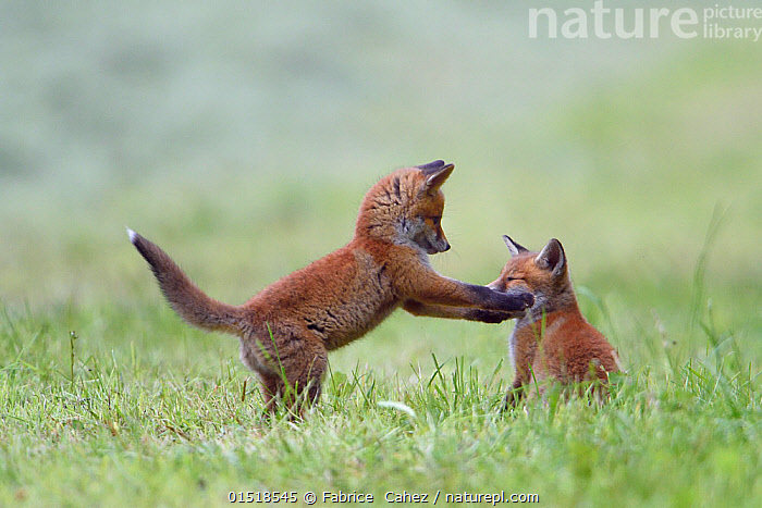 Red fox (Vulpes vulpes) cubs playing, Vosges, France, May., high15,,Animal,Vertebrate,Mammal,Carnivore,Canid,True fox,Red fox,Animalia,Animal,Wildlife,Vertebrate,Mammalia,Mammal,Carnivora,Carnivore,Canidae,Canid,Vulpes,True fox,Vulpini,Caninae,Vulpes vulpes,Red fox,Standing,Sibling,Siblings,Cute,Adorable,Colour,Brown,Two,Nobody,Europe,Western Europe,France,Lorraine,Young Animal,Juvenile,Babies,Baby Mammal,Cub,Plant,Grass Family,Grass,Grasses,Cultivated Land,Fields,Outdoors,Open Air,Outside,Day,Nature,Natural,Natural World,Wild,Animal Behaviour,Playing,Family,Behaviour,Farmland,Play,Playful,Vosges,Standing on hind legs,Two animals,Brown Colour,Teasing,, Fabrice  Cahez
