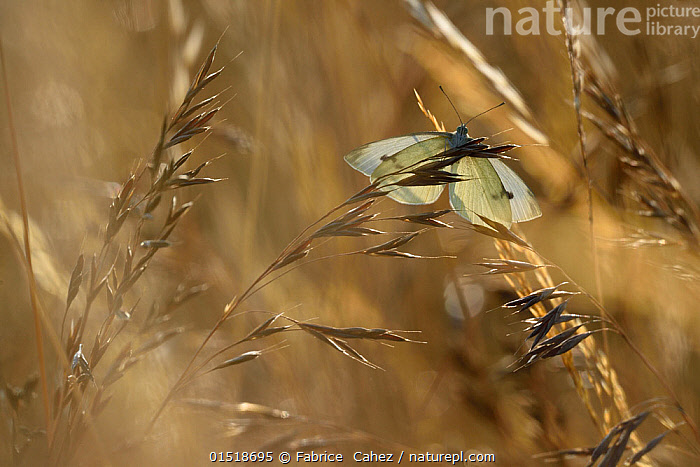 Small white butterfly (Pieris rapae) landing on grass, Vosges, France, July.  ,  Animal,Arthropod,Insect,Butterfly,White,Small white,Animalia,Animal,Wildlife,Hexapoda,Arthropod,Invertebrate,Hexapod,Arthropoda,Insecta,Insect,Lepidoptera,Lepidopterans,Pieridae,Butterfly,Papilionoidea,Pieris,White,Garden white,Pieris rapae,Small white,Small cabbage white,White butterfly,Small cabbage butterfly,Papilio rapae,Flying,Landing,Europe,Western Europe,France,Lorraine,Back Lit,Backlit,Summer,Nature,Natural,Natural World,Beauty In Nature,Vosges,Flight  ,  Fabrice  Cahez
