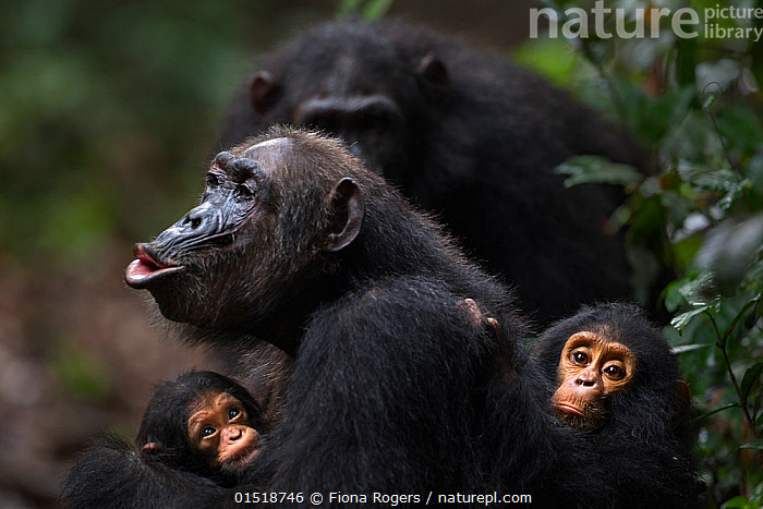 Eastern chimpanzee (Pan troglodytes schweinfurtheii) female 'Gremlin' aged 40 years calling while holding her baby granddaughter aged 2 months and her own infant son aged 2 years. Gombe National Park, Tanzania. Gremlin took the new born baby from her daughter Glitter very shortly after birth.  ,  high15,,Animal,Vertebrate,Mammal,Ape,Chimpanzee,Eastern chimpanzee,Animalia,Animal,Wildlife,Vertebrate,Mammalia,Mammal,Primate,Primates,Hominidae,Ape,Greater apes,Hominoidea,Pan,Pan troglodytes,Chimpanzee,Common Chimpanzee,Robust Chimpanzee,Vocalisation,Calling,Call,Sitting,Protection,Togetherness,Close,Together,Colour,Black,Few,Four,Group,Nobody,Africa,East Africa,Tanzania,Side View,Camera Focus,Selective Focus,Focus On Foreground,Focus On Foregrounds,Young Animal,Juvenile,Babies,Female animal,Hair,Fur,Outdoors,Open Air,Outside,Day,Animal Behaviour,Reserve,Family,Mother baby,Behaviour,Mother-baby,mother,Eastern chimpanzee,Protected area,National Park,Direct Gaze,Shallow depth of field,Low depth of field,Parent baby,Four animals,Protector,Animal Hair,Gombe National Park,Gombe Stream National Park,Endangered species,Endangered,Threatened,,Great apes,  ,  Fiona Rogers