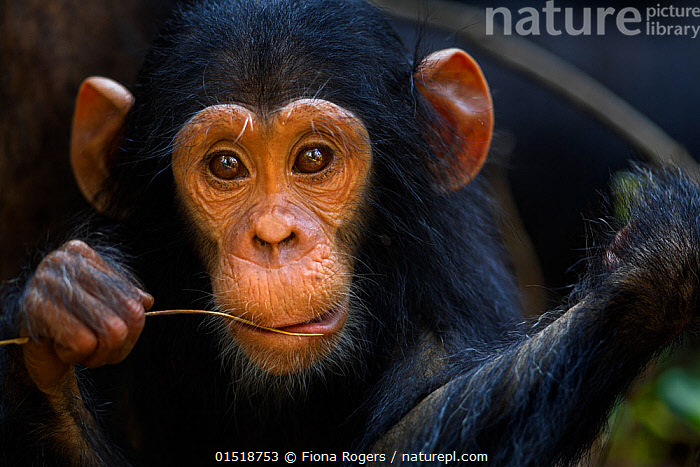 Eastern chimpanzee (Pan troglodytes schweinfurtheii) infant male 'Google' aged 2 years, portrait. Gombe National Park, Tanzania., high15,,Animal,Vertebrate,Mammal,Ape,Chimpanzee,Eastern chimpanzee,Animalia,Animal,Wildlife,Vertebrate,Mammalia,Mammal,Primate,Primates,Hominidae,Ape,Greater apes,Hominoidea,Pan,Pan troglodytes,Chimpanzee,Common Chimpanzee,Robust Chimpanzee,Sadness,Nobody,Worried,Facial Expression,Africa,East Africa,Tanzania,Close Up,Front View,View From Front,Portrait,Young Animal,Juvenile,Babies,Male Animal,Plant,Leaf,Foliage,Leaf Blade,Leaf Blades,Outdoors,Open Air,Outside,Day,Reserve,Eastern chimpanzee,Protected area,National Park,Direct Gaze,Blade of Grass,Gombe National Park,Tearful,Gombe Stream National Park,Endangered species,Endangered,Threatened,,Great apes,, Fiona Rogers