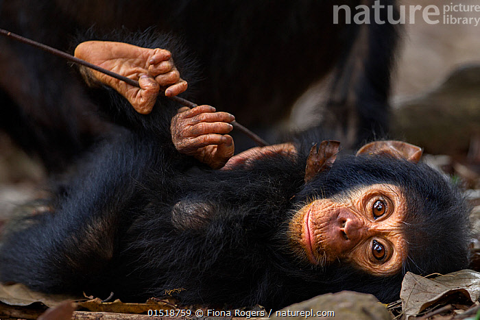 Eastern chimpanzee (Pan troglodytes schweinfurtheii) infant male 'Gizmo' aged 2 years lying on the forest floor. Gombe National Park, Tanzania., high15,,Animal,Vertebrate,Mammal,Ape,Chimpanzee,Eastern chimpanzee,Animalia,Animal,Wildlife,Vertebrate,Mammalia,Mammal,Primate,Primates,Hominidae,Ape,Greater apes,Hominoidea,Pan,Pan troglodytes,Chimpanzee,Common Chimpanzee,Robust Chimpanzee,Lying down,Lying On Back,Resting,Rest,Relaxation,Trust,Trustful,Trusting,Colour,Black,Nobody,Africa,East Africa,Tanzania,Close Up,Portrait,Young Animal,Juvenile,Babies,Male Animal,Hair,Fur,Brown Eyes,Brown Eye,Outdoors,Open Air,Outside,Day,Animal Behaviour,Playing,Reserve,Forest,Behaviour,Play,Playful,Eastern chimpanzee,Protected area,National Park,Direct Gaze,Forest floor,Animal Hair,Gombe National Park,Gombe Stream National Park,Endangered species,Endangered,Threatened,,Great apes,, Fiona Rogers