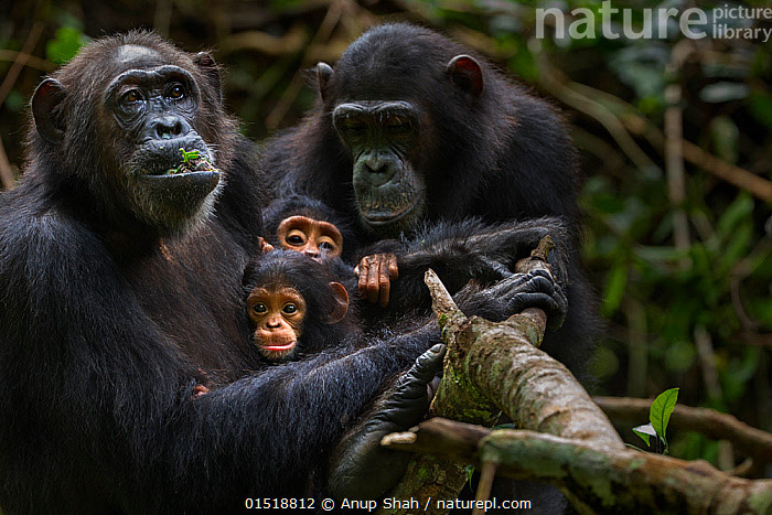 Eastern chimpanzee (Pan troglodytes schweinfurtheii) female 'Gremlin' aged 40 years holding her daughter 'Glitter's' baby daught aged 2 months and her own infant son aged 2 years. With 'Glitter' aged 13 years watching something that has caught their attention. Gombe National Park, Tanzania. Gremlin took the new born baby from her daughter Glitter very shortly after birth.  ,  high15,,Animal,Vertebrate,Mammal,Ape,Chimpanzee,Eastern chimpanzee,Animalia,Animal,Wildlife,Vertebrate,Mammalia,Mammal,Primate,Primates,Hominidae,Ape,Greater apes,Hominoidea,Pan,Pan troglodytes,Chimpanzee,Common Chimpanzee,Robust Chimpanzee,Togetherness,Close,Together,Few,Four,Group,Nobody,Distracted,Worried,Africa,East Africa,Tanzania,Close Up,Young Animal,Juvenile,Babies,Female animal,Outdoors,Open Air,Outside,Day,Feeding,Reserve,Family,Mother baby,Mother-baby,mother,Eastern chimpanzee,Protected area,National Park,Parent baby,Four animals,Gombe National Park,Gombe Stream National Park,Endangered species,Endangered,Threatened,,Great apes,  ,  Anup Shah