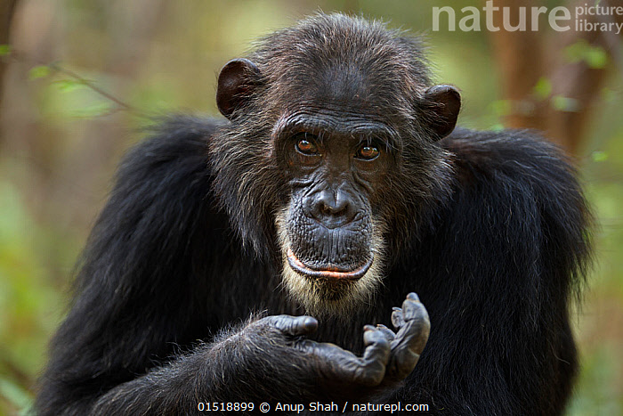 Eastern chimpanzee (Pan troglodytes schweinfurtheii) adult male 'Frodo' aged 35 years portrait. Gombe National Park, Tanzania., high15,,Animal,Vertebrate,Mammal,Ape,Chimpanzee,Eastern chimpanzee,Animalia,Animal,Wildlife,Vertebrate,Mammalia,Mammal,Primate,Primates,Hominidae,Ape,Greater apes,Hominoidea,Pan,Pan troglodytes,Chimpanzee,Common Chimpanzee,Robust Chimpanzee,Gesturing,Hand Sign,Hand Gesture,Hand Gestures,Hand Signs,Signal,Signals,Hands On Face,Hand On Chin,Ignorance,Ignorant,Overlooking,Stupidity,Stupid,Colour,Black,Brown,Nobody,Facial Expression,Smiling,Africa,East Africa,Tanzania,Front View,View From Front,Portrait,Male Animal,Animal Limbs,Limb,Animal Hands,Hand,Hands,Hair,Fur,Brown Eyes,Brown Eye,Outdoors,Open Air,Outside,Day,Reserve,Eastern chimpanzee,Protected area,National Park,Direct Gaze,Animal portrait,Palm of Hand,Brown Colour,Animal Hair,Gombe National Park,Gombe Stream National Park,Endangered species,Endangered,Threatened,,Great apes,, Anup Shah