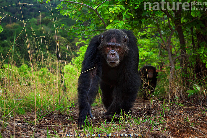 Eastern chimpanzee (Pan troglodytes schweinfurtheii) male 'Faustino' aged 22 years walking along a track preparing to display. Gombe National Park, Tanzania., high15,,Animal,Vertebrate,Mammal,Ape,Chimpanzee,Eastern chimpanzee,Animalia,Animal,Wildlife,Vertebrate,Mammalia,Mammal,Primate,Primates,Hominidae,Ape,Greater apes,Hominoidea,Pan,Pan troglodytes,Chimpanzee,Common Chimpanzee,Robust Chimpanzee,Walking,On The Move,Two,Nobody,Serious,Africa,East Africa,Tanzania,Front View,View From Front,Male Animal,Plant,Tree,Outdoors,Open Air,Outside,Day,Reserve,Animal Track,Tracks,Eastern chimpanzee,Protected area,National Park,Two animals,Fed up,Moving,Bad mood,Gombe National Park,Hunched,Gombe Stream National Park,Endangered species,Endangered,Threatened,,Great apes,, Anup Shah