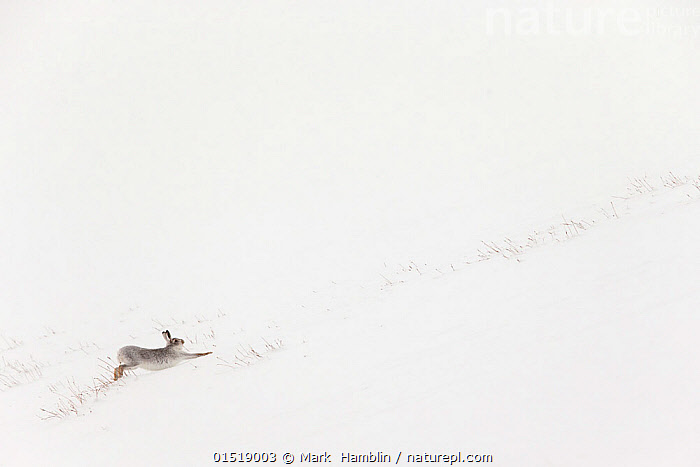 Mountain hare (Lepus timidus) in white winter coat stretching - in snowy habitat, Scotland. Highly Commended in the Mammals category of the GDT European Photographer of the Year Competition 2015.  ,  high15,,Animal,Vertebrate,Mammal,Lagomorph,Leporid,Hare,Mountain Hare,Animalia,Animal,Wildlife,Vertebrate,Mammalia,Mammal,Lagomorpha,Lagomorph,Leporidae,Leporid,Lepus,Hare,Lepus timidus,Mountain Hare,Running,Stretching,Energetic,On The Move,Scale,Proportion,Simplicity,Colour,White,Distant,Distance,Nobody,Size,Small,Little,Tiny,Temperature,Cold,Europe,Western Europe,UK,Great Britain,Scotland,Copy Space,Plain Background,White Background,Profile,Side View,Snow,Outdoors,Open Air,Outside,Winter,Day,Nature,Natural,Natural World,Wild,Habitat,Competition winner,Negative space,Moving,Insignificant,White colour,Gradient,Uphill,Photography award,  ,  Mark  Hamblin