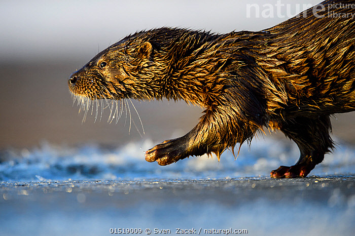 Otter (Lutra lutra) walking in fresh ice, Southern Estonia, January.  ,  catalogue8,,Animal,Vertebrate,Mammal,Carnivore,Mustelid,River otter,Common Otter,Animalia,Animal,Wildlife,Vertebrate,Mammalia,Mammal,Carnivora,Carnivore,Mustelidae,Mustelid,Lutra,River otter,Lutra lutra,Common Otter,Eurasian Otter,European Otter,European River Otter,Old World Otter,Walking,Determination,Direction,On The Move,Nobody,Wet,Temperature,Cold,Europe,Eastern Europe,East Europe,Baltic Countries,Baltic States,Estonia,Profile,Side View,Portrait,Animal Nose,Nose,Noses,Hair,Fur,Light,Lights,Sunlight,Ice,Outdoors,Open Air,Outside,Winter,Day,Whiskers,Moving,Purpose,Animal Hair,Southern Estonia,  ,  Sven  Zacek