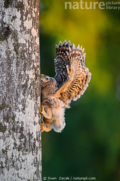 Ural owl (Strix uralensis) chick trying to climb an aspen tree with its beak, talons and wings, Southern Estonia. June., catalogue8,,Animal,Vertebrate,Bird,Birds,Owl,True owl,Ural owl,Animalia,Animal,Wildlife,Vertebrate,Aves,Bird,Birds,Strigiformes,Owl,Bird of prey,Strigidae,True owl,Typical owl,Striginae,Strix,Strix uralensis,Ural owl,Ural wood owl,Playing,Adversity,Difficult,Difficulty,Bizarre,Weird,Humorous,Nobody,Europe,Eastern Europe,East Europe,Baltic Countries,Baltic States,Estonia,Full Length,Full Lengths,Whole,Profile,Side View,Young Animal,Juvenile,Babies,Chick,Plant,Tree Trunk,Claw,Claws,Talon,Talons,Wing,Wings,Outdoors,Open Air,Outside,Day,Woodland,Forest,Climbing,Messing About,Wings Up,Southern Estonia,, Sven  Zacek