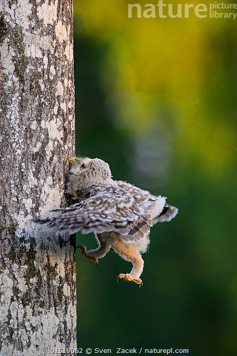 Ural owl (Strix uralensis) chick trying to climb an aspen tree with its beak, talons and wings, Southern Estonia. June., Animal,Vertebrate,Bird,Birds,Owl,True owl,Ural owl,Animalia,Animal,Wildlife,Vertebrate,Aves,Bird,Birds,Strigiformes,Owl,Bird of prey,Strigidae,True owl,Typical owl,Striginae,Strix,Strix uralensis,Ural owl,Ural wood owl,Bizarre,Weird,Humorous,Europe,Eastern Europe,East Europe,Baltic Countries,Baltic States,Estonia,Climbing,, Sven  Zacek