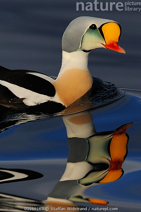King eider duck (Somateria spectabilis) male, Batsfjord village harbour, Varanger Peninsula, Norway.  ,  catalogue8,,Animal,Vertebrate,Bird,Birds,Water fowl,Waterfowl,King eider,Animalia,Animal,Wildlife,Vertebrate,Aves,Bird,Birds,Anseriformes,Water fowl,Galloanserans,Waterfowl,Anatidae,Somateria,Somateria spectabilis,King eider,Determination,On The Move,Colour,Colourful,Colorful,Nobody,Vibrant Colour,Pattern,Patterned,Patterns,Ripple,Rippled,Europe,Northern Europe,North Europe,Nordic Countries,Scandinavia,Norway,Close Up,Male Animal,Light,Lights,Light Effect,Reflection,Refraction,Prism,Prisms,Refractions,Outdoors,Open Air,Outside,Day,Marine,Coastal waters,Water,Saltwater,Moving,Animal marking,Finnmark,Varanger,Varanger Peninsula,Batsfjord,Wildfowl,Duck,Ducks  ,  Staffan Widstrand
