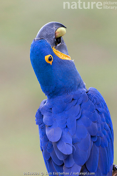 Hyacinth macaw (Anadorhynchus hyacinthinus) eating palm nut. Pantanal, Brazil., high15,,Animal,Vertebrate,Bird,Birds,Parrot,True parrot,Macaw,Hyacinth macaw,Pantanal wetlands,Animalia,Animal,Wildlife,Vertebrate,Aves,Bird,Birds,Psittaciformes,Parrot,Psittacines,Psittacidae,True parrot,Psittacoidea,Anodorhynchus,Macaw,Neotropical parrots,Arini,Arinae,Anodorhynchus hyacinthinus,Hyacinth macaw,Head Back,Head Cocked,Adversity,Difficult,Difficulty,Risky,Colour,Blue,Nobody,Vibrant Colour,Latin America,South America,Brazil,Close Up,Plant,Seed,Seeds,Beak,Beaks,Feather,Feathers,Outdoors,Open Air,Outside,Day,Feeding,Plumage,Pantanal,Pantanal wetlands,Holding in mouth,Awkward,Nut,Blue Colour,Palm Nut,Endangered species,threatened,Endangered, Suzi Eszterhas