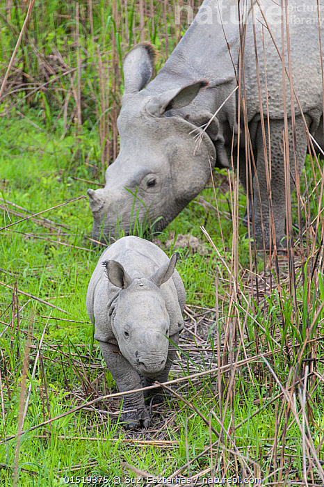 Indian rhinoceros (Rhinoceros unicornis) mother and calf (age 1-2 weeks) Kaziranga National Park, India., high15,,Animal,Vertebrate,Mammal,Odd toed ungulate,Rhinoceros,Indian rhinoceros,Animalia,Animal,Wildlife,Vertebrate,Mammalia,Mammal,Perissodactyla,Odd toed ungulate,Rhinocerotidae,Rhinoceros,Rhino,Rhinoceros unicornis,Indian rhinoceros,Greater One-horned Rhino,Great Indian Rhinoceros,Moving After,Following,Follow,Follows,Walking,Two,Nobody,Size,Small,Little,Tiny,Tiredness,Asia,Indian Subcontinent,India,Young Animal,Juvenile,Babies,Baby Mammal,Calf,Female animal,Outdoors,Open Air,Outside,Day,Reserve,Family,Mother baby,Mother-baby,mother,Protected area,National Park,Two animals,Assam,Parent baby,Kaziranga National Park,Moving,Endangered species,threatened,Vulnerable, Suzi Eszterhas