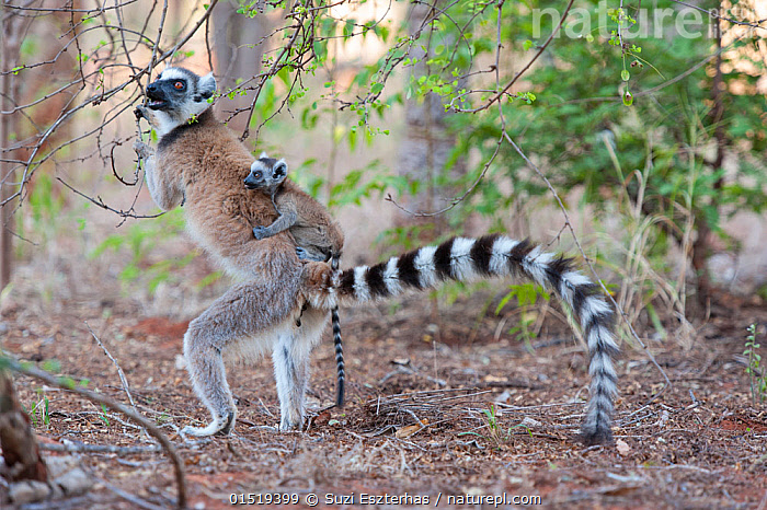 Ring tailed lemur (Lemur catta) female carrying two-week baby on back, standing upright to feed on flowers, Berenty Private Reserve, Madagascar, Animal,Vertebrate,Mammal,Lemur,Ring-tailed lemur,Animalia,Animal,Wildlife,Vertebrate,Mammalia,Mammal,Primate,Primates,Lemuridae,Lemur,Prosimians,Lemur catta,Ring-tailed lemur,Maki mococo,Carries,Carry,Africa,Madagascar,Malagasy Republic,Republic of Madagascar,Young Animal,Juvenile,Babies,Female animal,Animal Behaviour,Parental behaviour,Family,Mother baby,Behaviour,Mother-baby,mother,Biodiversity hotspots,Biodiversity hotspot,Parental,Parent baby, Suzi Eszterhas