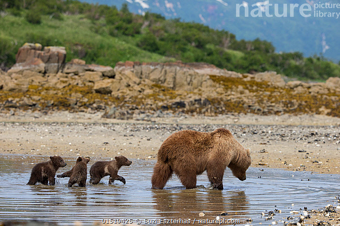 Brown Bear (Ursus arctos) mother and 3-4 month cubs foraging for clams. Katmai National Park, Alaska, USA, June., high15,,Animal,Vertebrate,Mammal,Carnivore,Bear,Brown Bear,American,Animalia,Animal,Wildlife,Vertebrate,Mammalia,Mammal,Carnivora,Carnivore,Ursidae,Bear,Ursus,Ursus arctos,Brown Bear,Foraging,Moving After,Following,Follow,Follows,Leadership,Few,Four,Group,Nobody,North America,USA,Western USA,Alaska,Young Animal,Juvenile,Babies,Baby Mammal,Cub,Outdoors,Open Air,Outside,Day,Nature,Natural,Natural World,Wild,Animals In The Wild,Animal In The Wild,Wild Animal,Wild Animals,Coast,Freshwater,Coastal,Water,Animal Behaviour,Playing,Family,Mother baby,Behaviour,Mother-baby,mother,Play,Playful,Pool,Pools,Katmai National Park,Parent baby,Four animals,Moving,American,United States of America,, Suzi Eszterhas