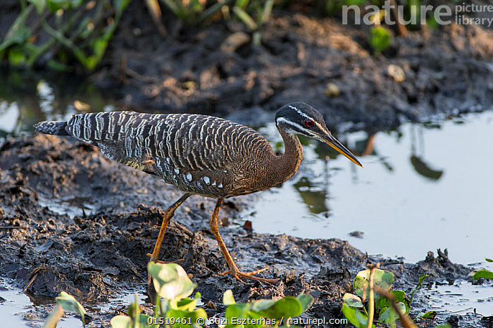 Sunbittern (Eurypyga helias) at waters edge, Pantanal, Brazil.  ,  Animal,Vertebrate,Bird,Birds,Sunbittern,Pantanal wetlands,Animalia,Animal,Wildlife,Vertebrate,Aves,Bird,Birds,Gruiformes,Eurypygidae,Sunbittern,Eurypigidae,Eurypyga,Eurypyga helias,Latin America,South America,Brazil,Water's Edge,Water,Pantanal,Pantanal wetlands  ,  Suzi Eszterhas
