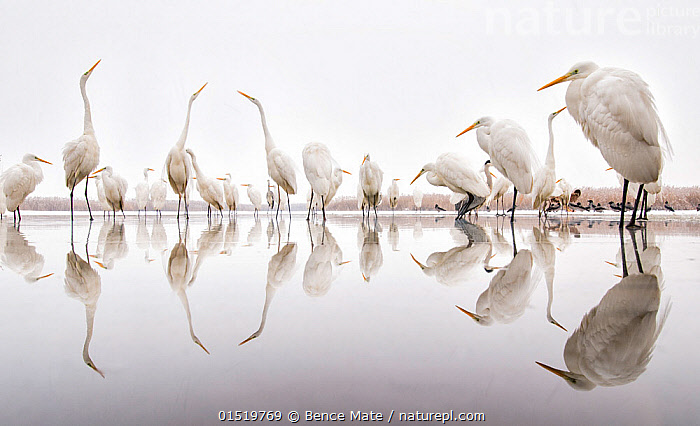 Group of Great egrets (Ardea alba) reflected in still water, with Hooded crows (Corvus cornix), Lake Csaj, Pusztaszer, Hungary. Winner of the Portfolio category of the Terre Sauvage Nature Images Awards competition 2015.  ,  catalogue8,,Animal,Vertebrate,Bird,Birds,Typical heron,Great egret,Songbird,Crow,Hooded crow,Animalia,Animal,Wildlife,Vertebrate,Aves,Bird,Birds,Pelecaniformes,Ardeidae,Ardea,Typical heron,Heron,Ardeinae,Ardea alba,Great egret,Great white egret,Large egret,Great white heron,Casmerodius albus,Egretta alba,Passeriformes,Songbird,Passerine,Corvidae,Crow,Corvid,Corvus,Corvus cornix,Hooded crow,Hoodiecrow,Eurasian crow,Common crow,Scotch crow,Danish crow,Corbie,Grey crow,Corvus corone cornix,Standing,Waiting,Mood,Calm,Colour,Grey,Gray,White,Group Of Animals,Flock,Flocking,Flocks,Group,Large Group,Nobody,Europe,Eastern Europe,East Europe,Hungary,Plain Background,White Background,Reflection,Outdoors,Open Air,Outside,Day,Nature,Natural,Natural World,Wild,Water Surface,Water,Mixed species,White colour,Jalohaikara,Lake Csaj,  ,  Bence  Mate