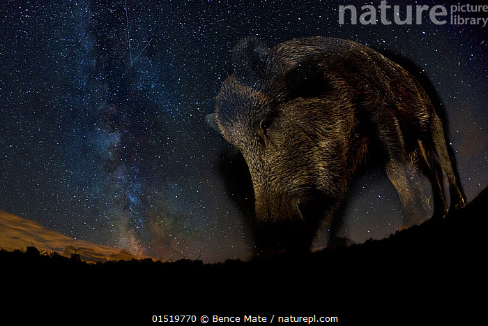 Wild boar (Sus scrofa) at night with the milky way in the background, Gyulaj, Tolna, Hungary. August. Taken using long exposure with flash at night. Winner of the Mammals Category of the GDT Awards 2015. Overall winner of the MontPhoto Competition 2015. Second place in the Mammal category of the Terre Sauvage Nature Images Awards 2016., catalogue8,,Animal,Vertebrate,Mammal,Pig,Animalia,Animal,Wildlife,Vertebrate,Mammalia,Mammal,Artiodactyla,Even-toed ungulates,Suidae,Pig,Sus,Sus scrofa,Wild Boar,Mood,Nightmarish,Mystery,Mysterious,Nobody,Dark,Darkness,Weight,Heavy,Heaviness,Europe,Eastern Europe,East Europe,Hungary,Low Angle View,Photographic Effect,Long Exposure,Monster,Monsters,Light,Lights,Outer Space,The Universe,Galaxy,Galaxies,Stars,Outdoors,Open Air,Outside,Night,Beautiful,Celestial Body,Celestial Bodies,Starry,Milky Way,Awkward,Beast,Gyulaj,Tolna,,,stars,night,astrophotography,stargazing,, Bence  Mate