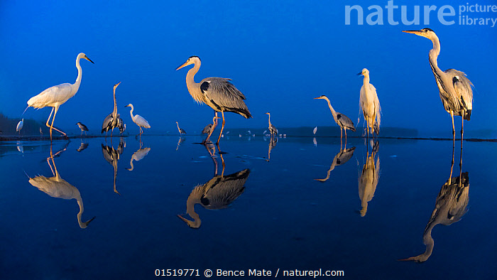 Little egret (Egretta garzetta) and Grey herons (Ardea cinerea) reflected in lake at twilight, Lake Csaj, Pusztaszer, Hungary. June. Winner of the Portfolio category of the Terre Sauvage Nature Images Awards competition 2015., catalogue8,,Animal,Vertebrate,Bird,Birds,True egret,Little egret,Typical heron,Grey heron,Animalia,Animal,Wildlife,Vertebrate,Aves,Bird,Birds,Pelecaniformes,Ardeidae,Egretta,True egret,Heron,Ardeinae,Egretta garzetta,Little egret,Ardea,Typical heron,Ardea cinerea,Grey heron,Standing,Waiting,Mood,Calm,Patience,Silence,Quiet,Colour,Blue,Group,Large Group,Nobody,Vibrant Colour,Europe,Eastern Europe,East Europe,Hungary,Panoramic,Side View,Reflection,Outdoors,Open Air,Outside,Twilight,Evening,Freshwater,Lake,Water Surface,Water,Mixed species,Dusk,Blue Colour,Lake Csaj,, Bence  Mate