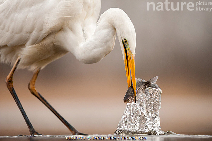 Great egret (Ardea alba) hunting fish, Lake Csaj, Pusztaszer, Hungary, February. Winner of the Portfolio category of the Terre Sauvage Nature Images Awards competition 2015., catalogue8,,Animal,Vertebrate,Bird,Birds,Typical heron,Great egret,Animalia,Animal,Wildlife,Vertebrate,Aves,Bird,Birds,Pelecaniformes,Ardeidae,Ardea,Typical heron,Heron,Ardeinae,Ardea alba,Great egret,Great white egret,Large egret,Great white heron,Casmerodius albus,Egretta alba,Lifting,Picking Up,Picks Up,Raising,Trapped,Colour,White,Yellow,Two,Nobody,Europe,Eastern Europe,East Europe,Hungary,Close Up,Animal Limbs,Limb,Animal Legs,Legs,Leg,Beak,Beaks,Outdoors,Open Air,Outside,Day,Predator,Predators,Nature,Natural,Natural World,Wild,Freshwater,Lake,Water,Animal Behaviour,Predation,Hunting,Behaviour,Food chain,Two animals,White colour,Holding in mouth,Bending,Bending forwards,Prey,Jalohaikara,Yellow Colour,Lake Csaj,, Bence  Mate